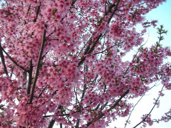 Quick Fish cherry blossom 3